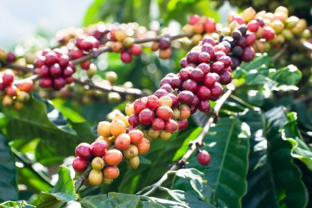 Foto de Maduración de los granos de café en un árbol - Imagen libre de derechos