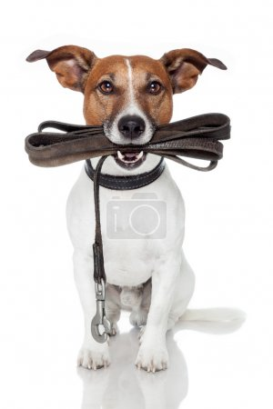 Photo for Dog with leather leash - Royalty Free Image
