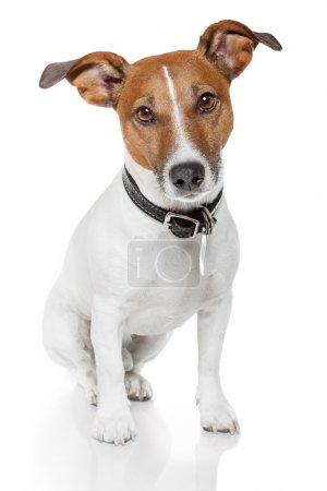 Photo pour Jack terrier russell comme c'est - image libre de droit