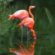 Two pink flamingos are searching feed in the water...