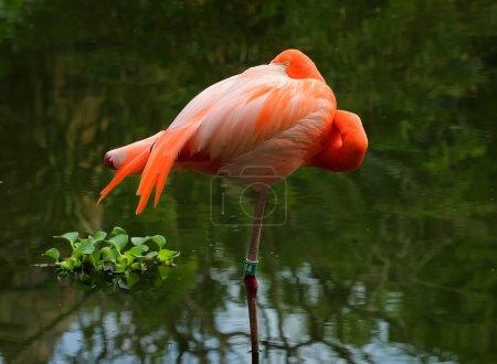 Sleeping flamingo with one eye open