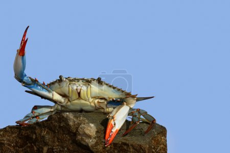Live blue crab in a fight pose