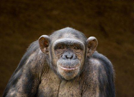 Photo pour Portrait d'un chimpanzé - image libre de droit