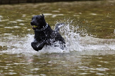 Dog retrieving a ball from water