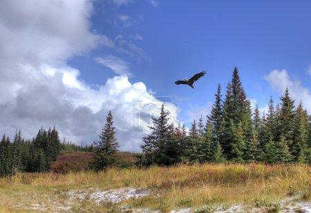 Photo pour Le pygargue à tête blanche vole au-dessus du paysage de l'Alaska avec des épinettes, une poussière de neige et des nuages spectaculaires . - image libre de droit