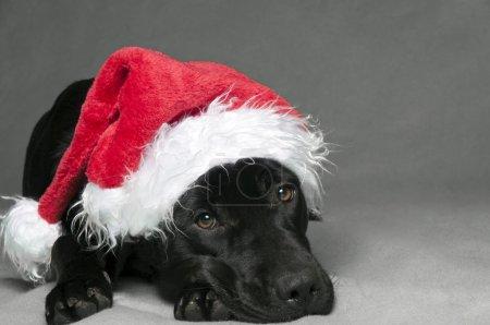 Labador christmas