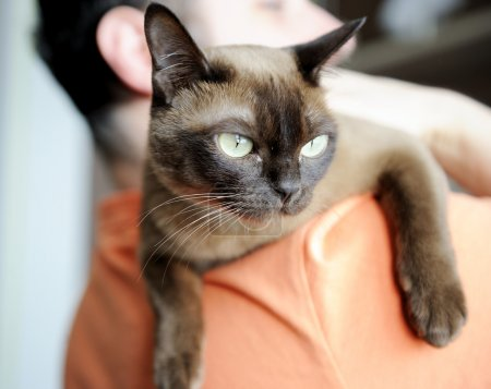 Man carrying burmese cat on his shoulder