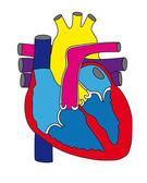Anatomy of the human heart 1