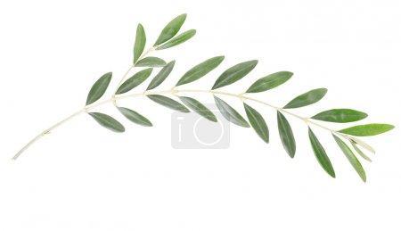 Photo pour Branche d'olivier et feuilles isolées sur blanc, chemin de coupe inclus - image libre de droit