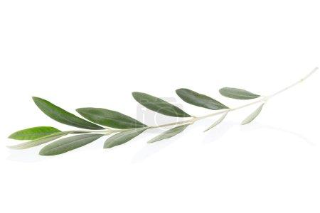 Photo pour Branche d'olivier avec feuilles isolées sur blanc, chemin de coupe inclus - image libre de droit