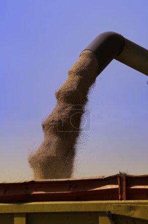 Photo pour Récolte et tranvasement des grains de blé - image libre de droit