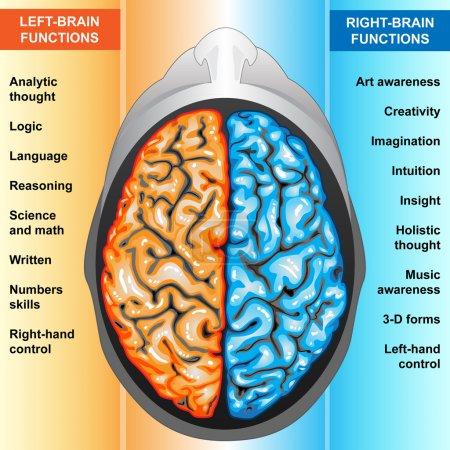 Photo pour Gauche et droite des fonctions cérébrales, partie du corps iilustration, humain - image libre de droit