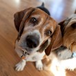 Cute beagle dog sitting down next to another dog a...