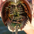 The under belly of a horseshoe crab revealing the ...