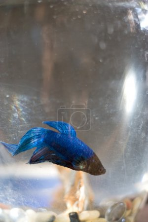 Photo for A macro shot of a pet betta fish. - Royalty Free Image