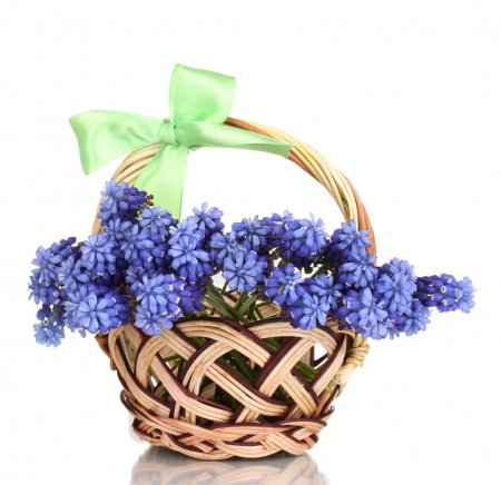 Muscari - hyacinth in basket isolated on white