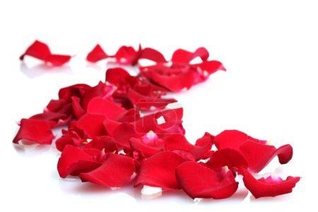 Foto de Hermosos pétalos de rosas rojas aisladas en blanco - Imagen libre de derechos