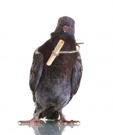 Photo pour Un messager-pigeon gris isolé sur blanc - image libre de droit