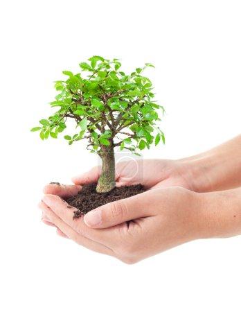 Foto de Manos sosteniendo un árbol pequeño bonsai - Imagen libre de derechos