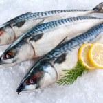 Fresh mackerel fish (Scomber scrombrus) on ice...