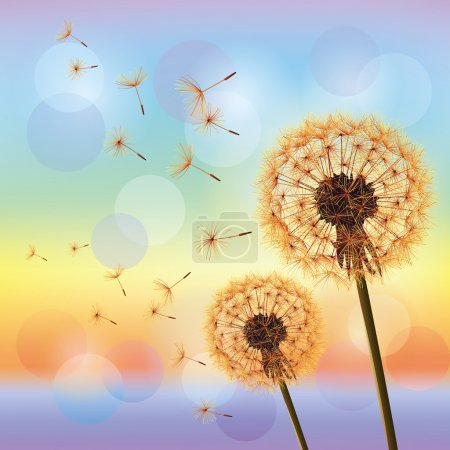 Flowers dandelions on background of sunset