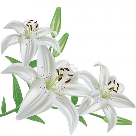 Flower lily isolated on white background