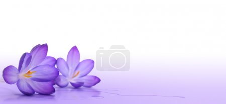 Photo for Crocus flower over a white and violet background - macro - Royalty Free Image