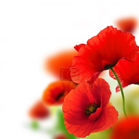 Photo for Poppies white background, green and red floral design, frame - Royalty Free Image