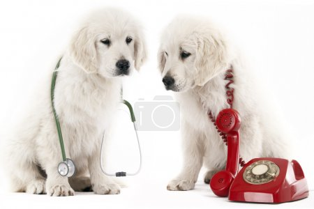 Photo for 2 golden retriever puppy with a red phone and a stethoscope - Royalty Free Image