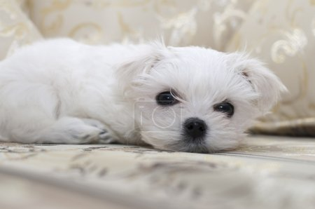 Maltese puppy on the sofa