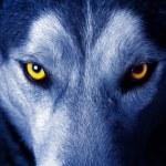 Beautiful eyes of a wild wolf...