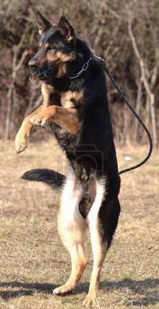 German shepherd - dog at a dog training center