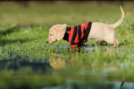 Photo pour Un chiot Dachshund de onze semaines marche dans une grande flaque d'eau. Il est perpendiculaire à la caméra portant un pull à rayures rouges et noires. Sa queue se redresse et son reflet se voit . - image libre de droit