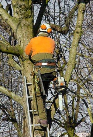Photo pour Arbres élagage, montant de bûcheron dans un arbre pour couper les branches - image libre de droit
