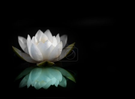 Photo for White water lily reflected in water, with black background - Royalty Free Image