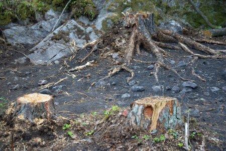 Photo pour Souches d'arbres et rochers dans une clairière - image libre de droit