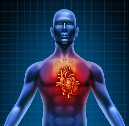 Human Torso With Red Heart Anatomy
