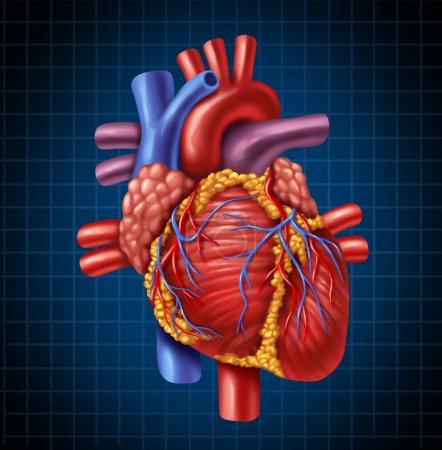 Photo pour Anatomie du cœur humain d'un corps sain, sur un fond bleu et noir graphique comme un symbole de santé médical d'un organe interne cardiovasculaire. - image libre de droit