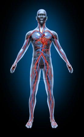 Photo pour Circulation sanguine humaine dans le système cardiovasculaire avec anatomie cardiaque à partir d'un corps sain isolé sur fond noir comme symbole médical de soins de santé d'un i - image libre de droit