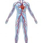 Human Cardiovascular heart system with heart anato...