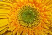 Květina žlutá gerbera