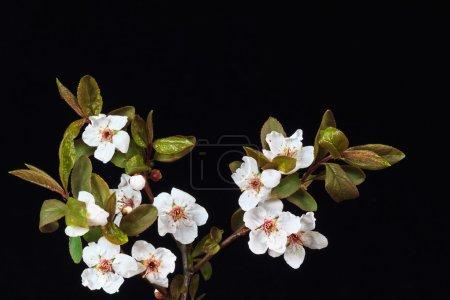 Photo pour Branche de fleurs de cerisiers sur fond noir - image libre de droit