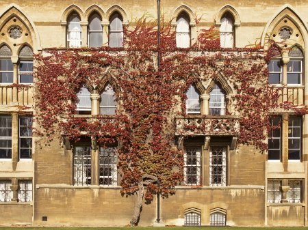 Photo pour Une plante de lierre pousse sur le mur de l'un des murs du Christ Church College à Oxford, en Angleterre. Les feuilles de la vigne sont devenues rouges avec le début de l'automne . - image libre de droit