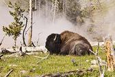 Buffalo Near Hot Spring