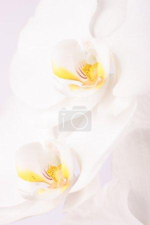 Close-up of Phalaenopsis flowers
