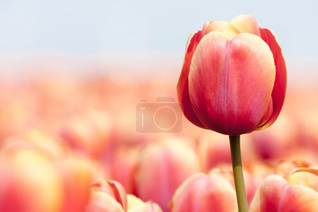 Pink tulip photgraphed with a selective focus and a shallow dept