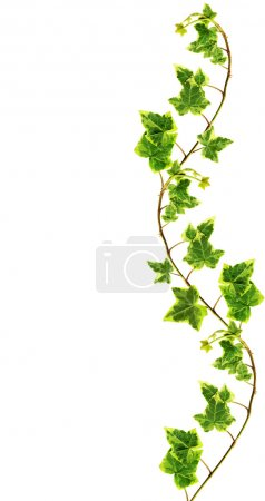 Photo for Clipping path. Border made of Green ivy isolated on white background - Royalty Free Image