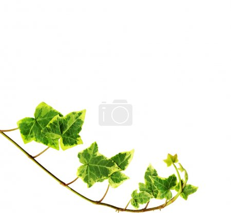 Photo for Clipping path. Green ivy isolated on white background - Royalty Free Image