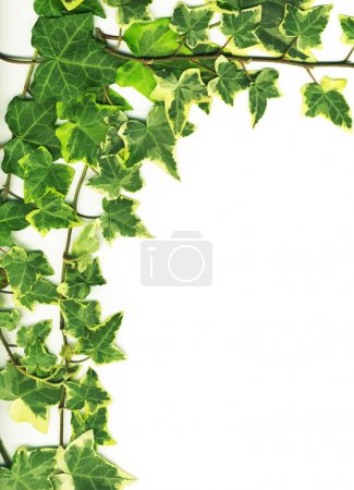 Photo for Botanical, green border made of ivy leaves isolated on a white background - Royalty Free Image