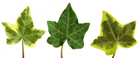 Photo for With Clipping path. Isolated English ivy leaf against a white background - Royalty Free Image